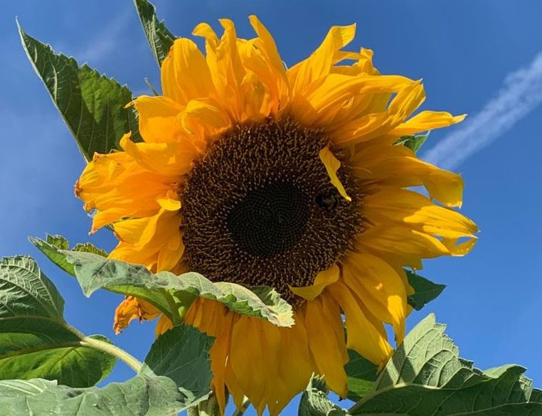 'Grow Some Sunshine' To Support Our NHS Heroes