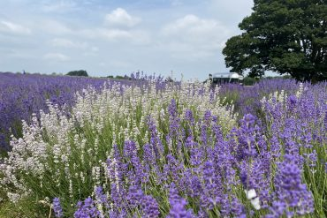 The Versatility of Lavender